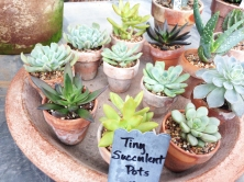 succulents tiny